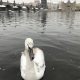 Swan not happy on frigid Vltava day; Snow on Charles Bridge